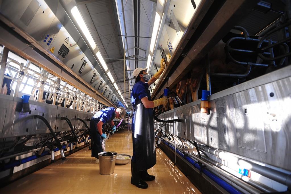 Tuyển lao động nữ sang Nhật Bản làm vắt bò sữa 1